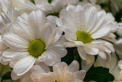 Хризантема Хризантема цветы весна макро