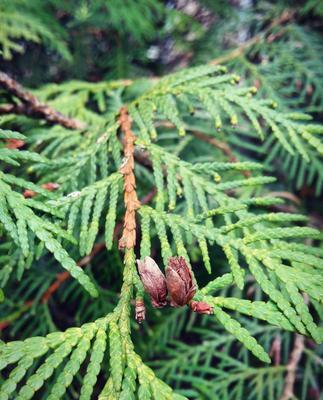 Туя Туя дерево природа зелёный весна ветка
