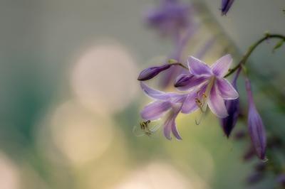 Хоста цветы природа