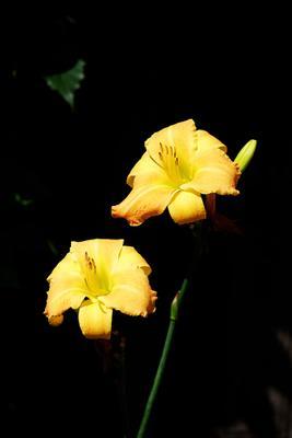 *** цветы лилейник
