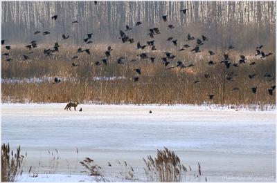 Вороны и лисица (почти по Крылову) вороны corvus cornix обыкновенная лисица vulpes весна