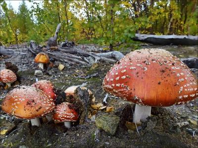 *Сентябрьские мухоморы* фотография грибы природа осень Заполярье тундра Фото.Сайт