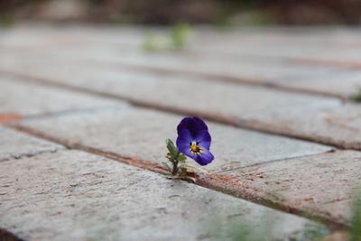 Сквозь камень анютины глазки цветок камень