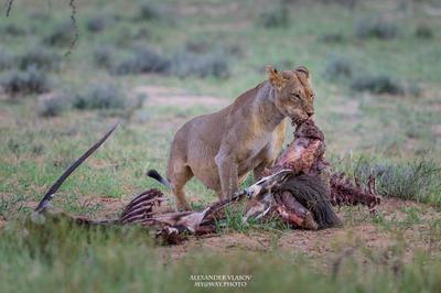 Львица с добычей