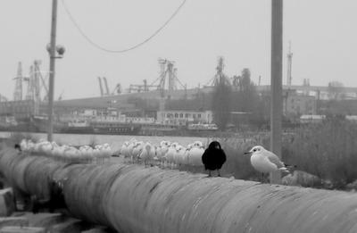 Черная чайка - это вам не белая ворона ворона чайка
