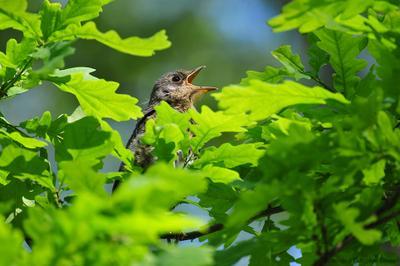 птенец дрозда-рябинника