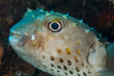Fish of the Red Sea. Spotbase burrfish corals diving fish macro nature ocean photography photos sea underwater water world