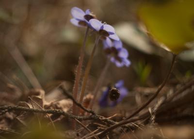 *** цветы лес весна природа перелески первоцветы печеночница