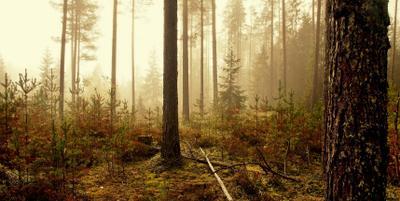Лес в тумане Лес осень туман