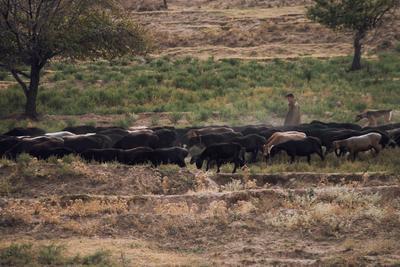 Пастух природа деревья стадо животные коровы пастух поле осень
