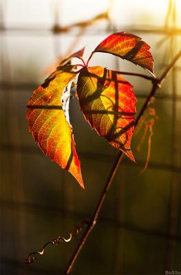 осень плющ, осень