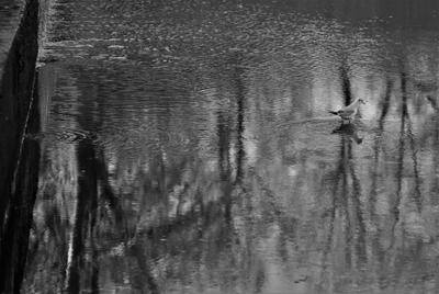 Озерная чайка