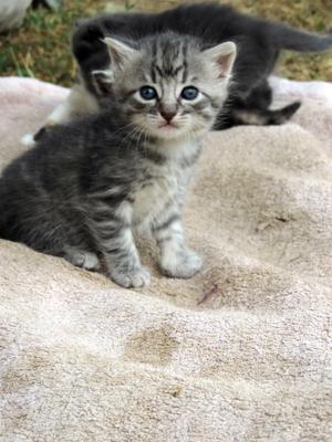 ***Британец-котенок*** котенок полосатый британец милашка