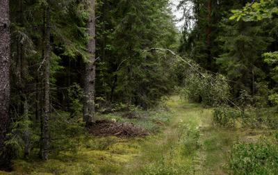 По грибы лес ели береза тропинка