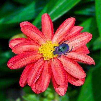 И у навозника есть тяга к прекрасному! жук цветок
