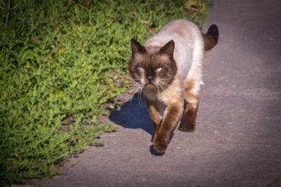 Иду себе иду, никого не трогаю кот кошачьи сиамский домашние животные юмор