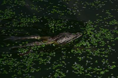 Rana amurensis-Сибирская лягушка, или амурская лягушка. frog вода лягушка