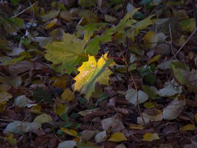 ***Осень листья клен