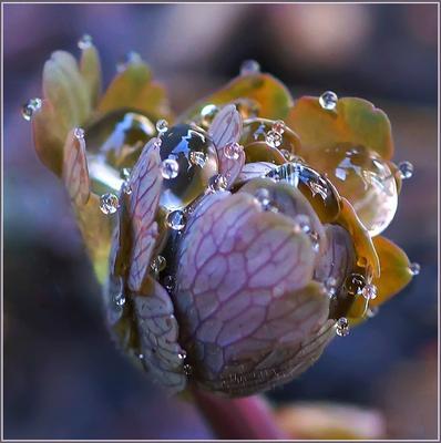 Дождинки Весна дождь аквилегия