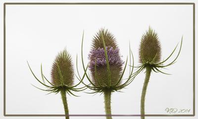Синеголовники природа цветок синеголовник