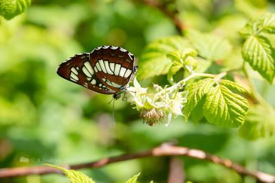 Бабочка пеструшка таволговая насекомое макро бабочка лето