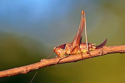 ... макро фото насекомые кузнечик саранча лето жара солнце профиль прямокрылые