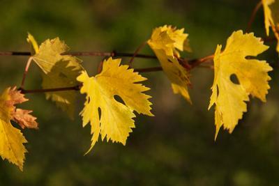 Жёлтые листья листья осень жёлтый ветка виноград