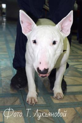 Булька Пёс белый бультерьер