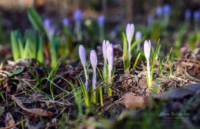 *** весна крокусы