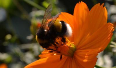 Мохнатый шмель ... шмель насекомые цветок природа красота макро
