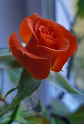Моя роза!)