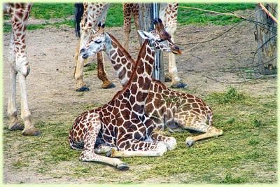 Словил Жирафика зоопарк, жираф