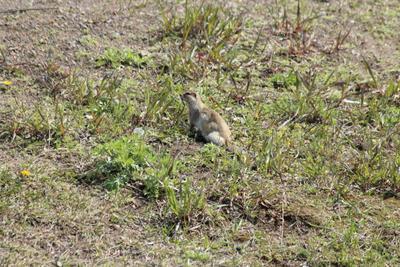 *Из жизни сусликов. Первая трава* Природа земля трава животное суслик