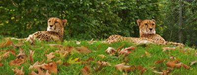 Осенью гепарды особенно красивы! Гепарды