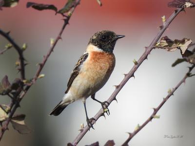 Черноголовый чекан Фотоохота птицы чекан черноголовый