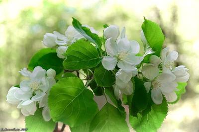 Яблоневое цветенье природа весна лес.растительный мир яблоня цветы