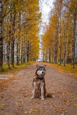 Собака Собака осень аллея
