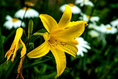 Лилия. природа цветы