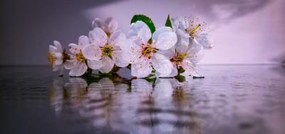 Цветущая вишня Мокрая вишня