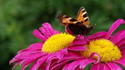 Утренний гость бабочка цветы природа