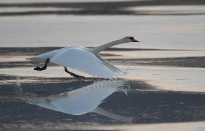 на взлёт! лебедь птица полет разбег весна озеро лед