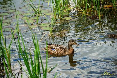 Кряква утка кряква пруд