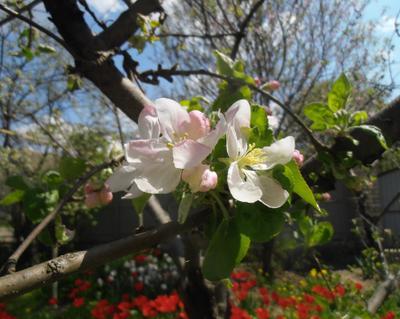 Зацвела яблоня весна дома сад