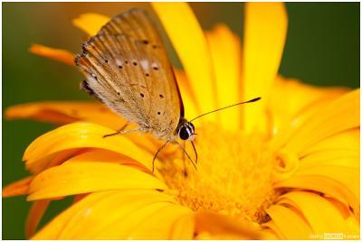 *** бабочка цветок