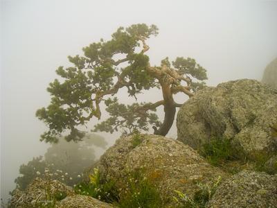 Сосна в тумане Сосна камни туман