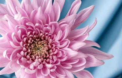 Хризантема Нежность Розовая хризантема на голубом фоне