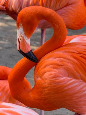 Фламинго Фламинго