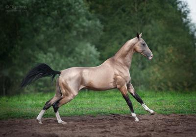 Ахалтекинский лебедь лошадь ахалтекинец