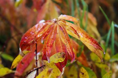 ***Осенний иван - чай природа растения