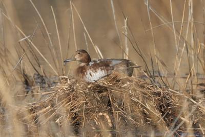 Утка Утка природа птицы весна